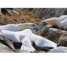 Territorial tussle, gannets fighting, Saltee Island, County Wexford, Ireland Photographic Print