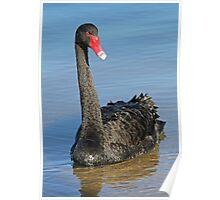 Portrait Of A Black Swan Poster
