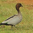 Male Australian Wood Duck by Robert Abraham