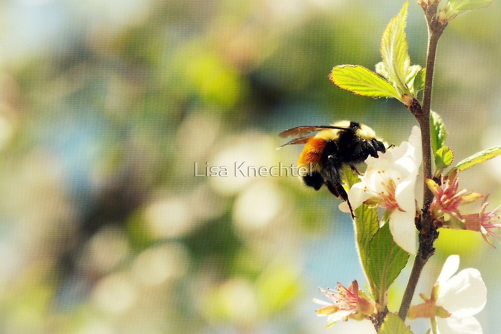 Cherry Blossoms and the Bumble Bee by Lisa Knechtel