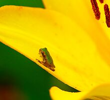 Froggie in The Lily by Brenda Burnett