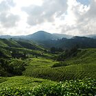 Cascading Tea Fields by Hayley Joyce