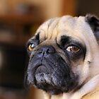 Pug dog snarl. by Edward Mahala