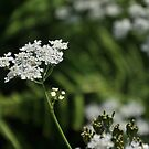 Cow Parsley by Hilda Rytteke