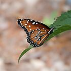 Resting Monarch by Robert Kelch, M.D.