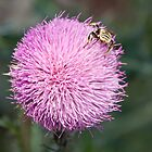 Thistle-loving bug by Robert Kelch, M.D.