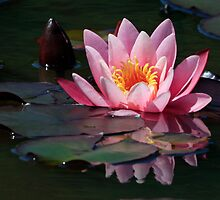 Pink Water Lily by Debbie  Roberts