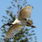 ibis in flight by paulinea
