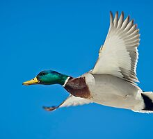 Mallard Drake  by Daniel  Parent