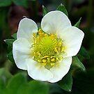 Strawberry Blossom by PatChristensen