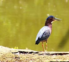 Green Heron by Dave & Trena Puckett