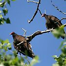 Turkey Vultures by Raider6569