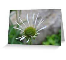 White Echinacea Flower Greeting Card