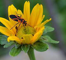 Orange and Black Bug on Yellow Wildflower by Paula Betz