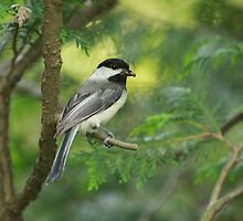 Black Cap Chickadee by ZeeZeeshots