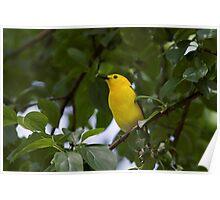 Prothonatory Warbler Poster