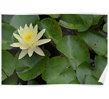 Light Yellow Water Lily Poster