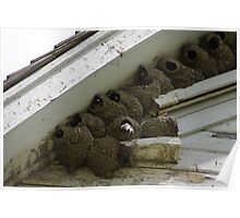 Barn Swallow nests  Poster