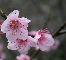 Cherry Blossom by Leanne Allen