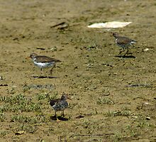 Spotted Sandpipers on sandbar by Klaus Girk