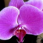 Orchid, Oh My! by Debbie Robbins