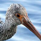 Juvenile White Ibis Closeup by AuntDot