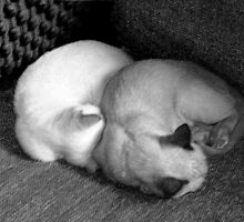 Sleeping kittens. by ronsphotos