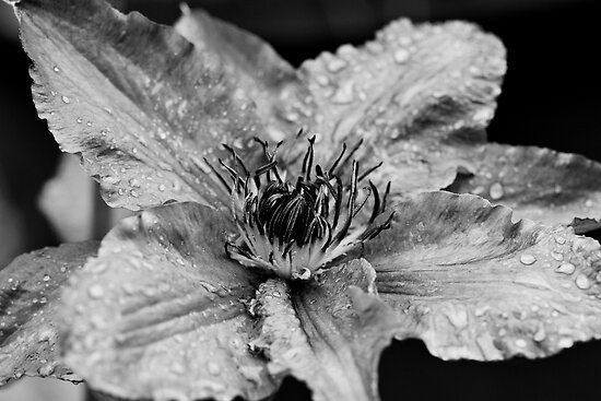 Clematis in the Rain by Ray Clarke