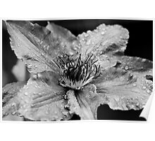 Clematis in the Rain Poster