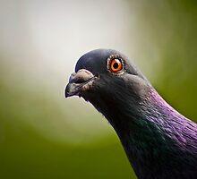 Curious pigeon by Josh Spacagna