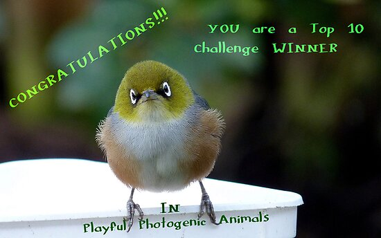 Top 10 Challenge Winner Banner - Silvereye - NZ by AndreaEL