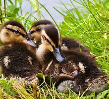 Snuggly Ducklings ~ Mangerton Mill by Susie Peek