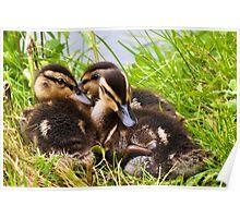 Snuggly Ducklings ~ Mangerton Mill Poster