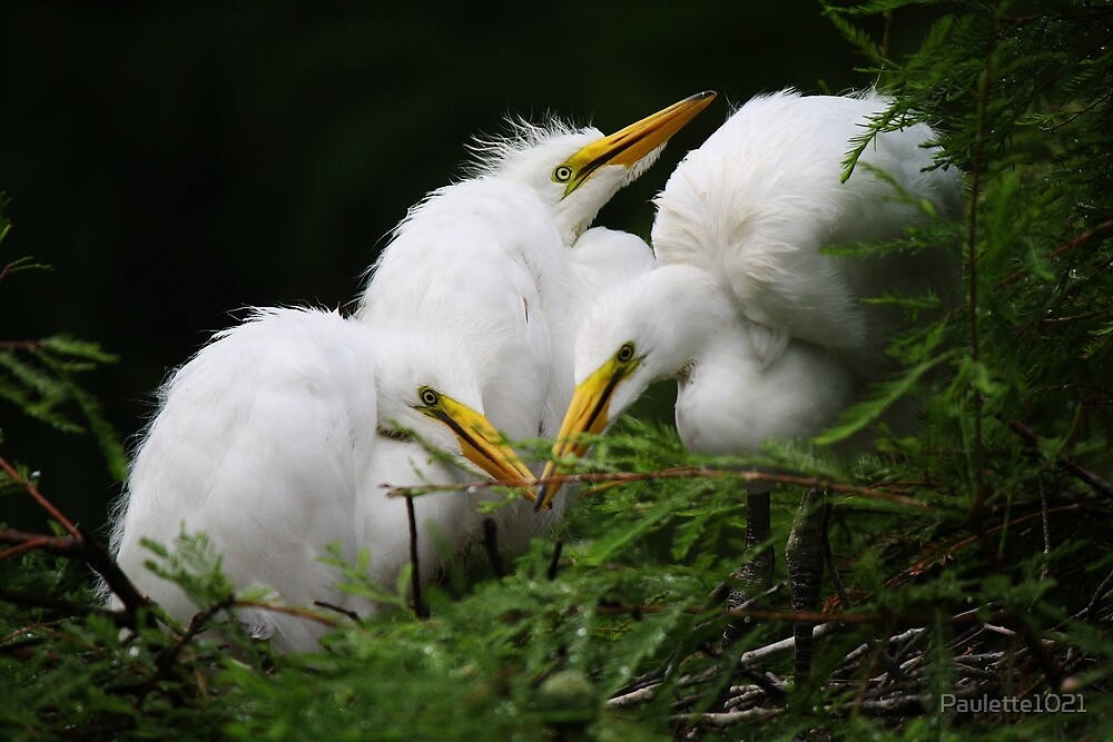 Great White Egret Babies in the Nest by Paulette1021