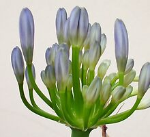 The flower of Agapanthus is going to come out -3 by acquart