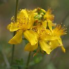 St John&#x27;s Wort by marens