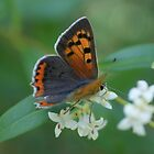 Small Copper by marens