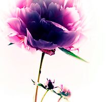 Pink Peony by Aj Finan