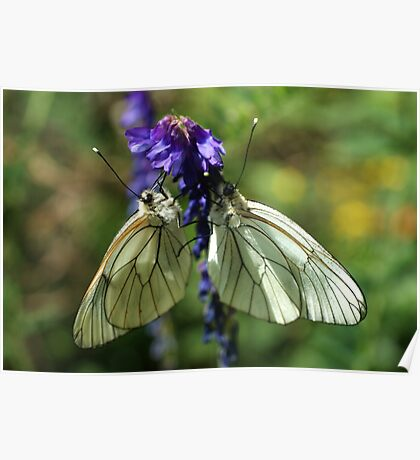 Black-veined Whites Poster