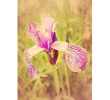 Vintage Iris In Pink Photographic Print