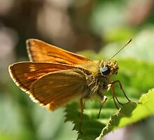 Large Skipper by marens