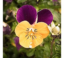 Spring Pansy Photographic Print