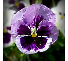 Purple Pansy Close Up Photographic Print