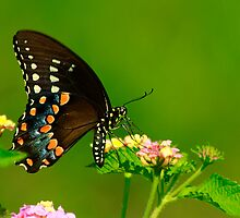 Swallowtail Beauty by Brenda Burnett