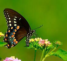 Swallowtail Beauty by Brenda Burnett