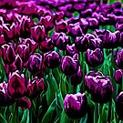 Pink and Purple Tulips by Andre Faubert