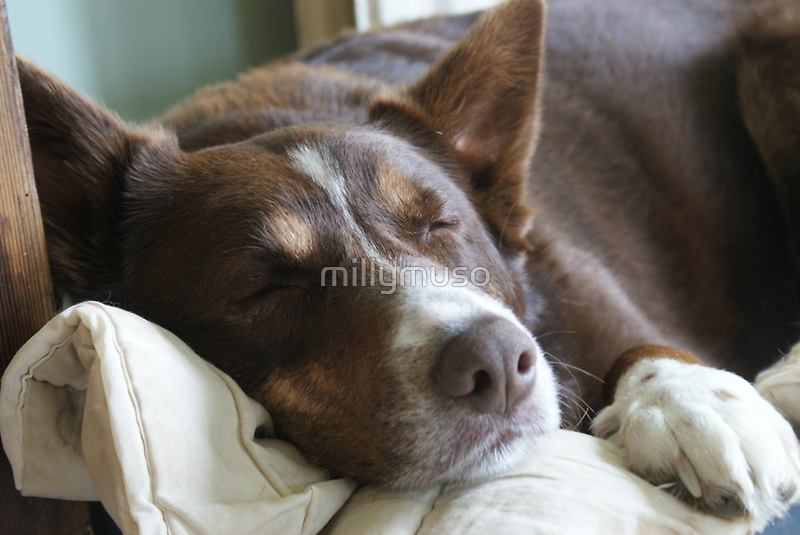 Snoozing hound by millymuso