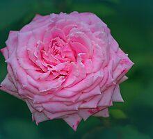 Grannie's Rose by Eileen McVey