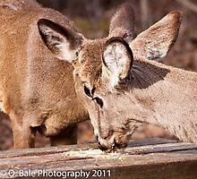 Double deer Photographic Print