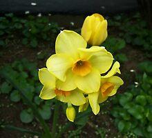 Multiple Daffodils by Roger-Cyndy